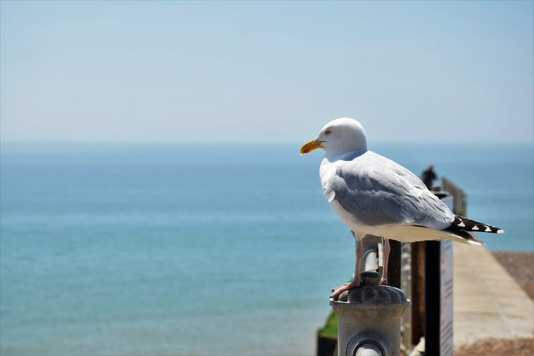 Bird Perched Blue Sky Gull Gulls Horizon Over Water Looking Out To Sea Nature Seagull Seagulls Space For Copy The Great Outdoors - 2017 EyeEm Awards