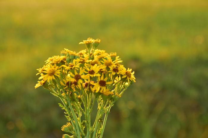 Flower Head Flower Yellow Plant Part Summer Rural Scene Field Petal Close-up Plant