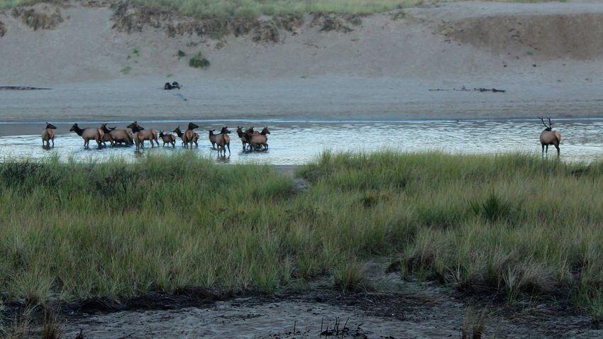 Watching over his ladies EyeEm Best Shots EyeEm Nature Lover EyeEm Selects EyeEm Gallery EyeEmBestPics Cow Elk Elk Antlers Elk Herd Eyemphotography