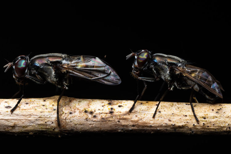 Macro Black Fruit Fly Animal Themes Animal Animal Wildlife Insect Black Background Studio Shot Invertebrate One Animal Animals In The Wild No People Close-up Indoors  Nature Animal Wing Side View Fly Food