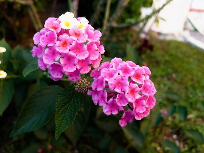 Rose flower in the garden Flowering Plant Flower Pink Color Plant Growth Beauty In Nature Freshness Fragility Close-up Petal Inflorescence Vulnerability  Lantana Plant Part Leaf Focus On Foreground No People Nature Flower Head Day