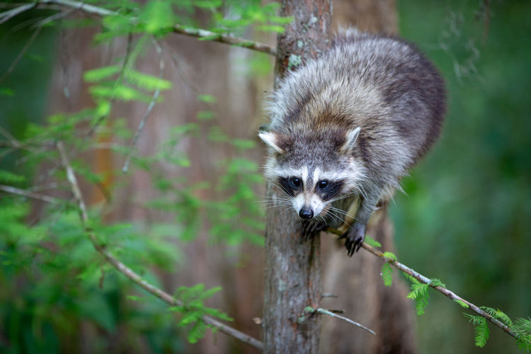 Tree WoodLand Animal Animal Themes Animal Wildlife Animals In The Wild Climbing Day Forest Forest Photography Land Mammal Nature No People One Animal Outdoors Plant Racoon Racoons Vertebrate