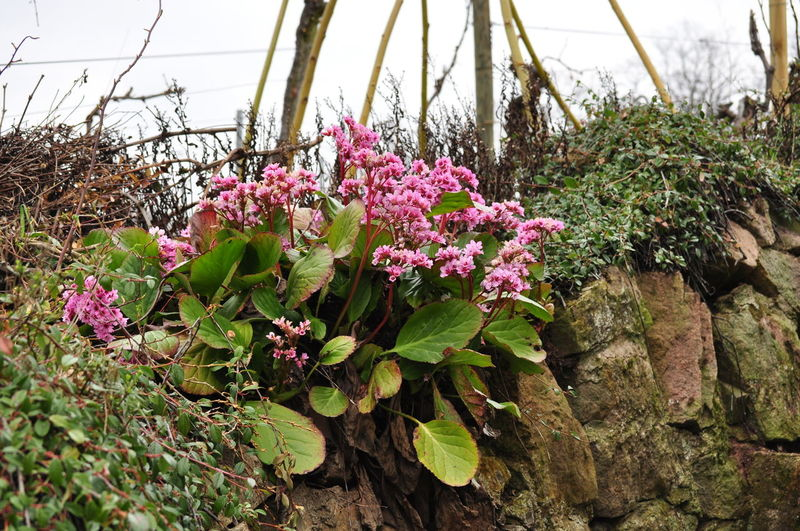 Bergenia Flowers Bergenia Hybride Beauty In Nature Blooming Close-up Elephant's Ears Elephant-eared Saxifrage Flower Nature No People Outdoors Pink Color Plant Red Bergenia Spring Stone Wall Vineyard