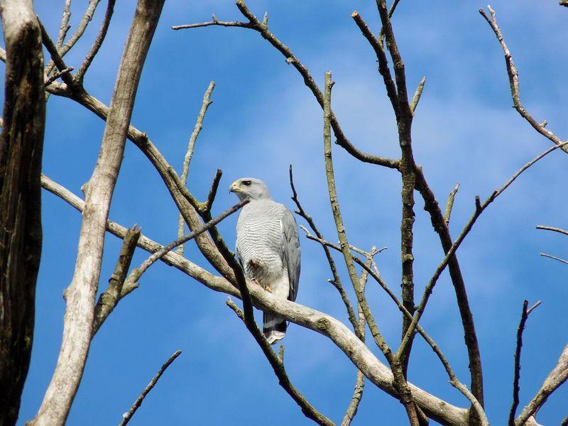 Wildlife Hawks Outdoors Raptors Costa Rica Alajuela Bird Photography Birds