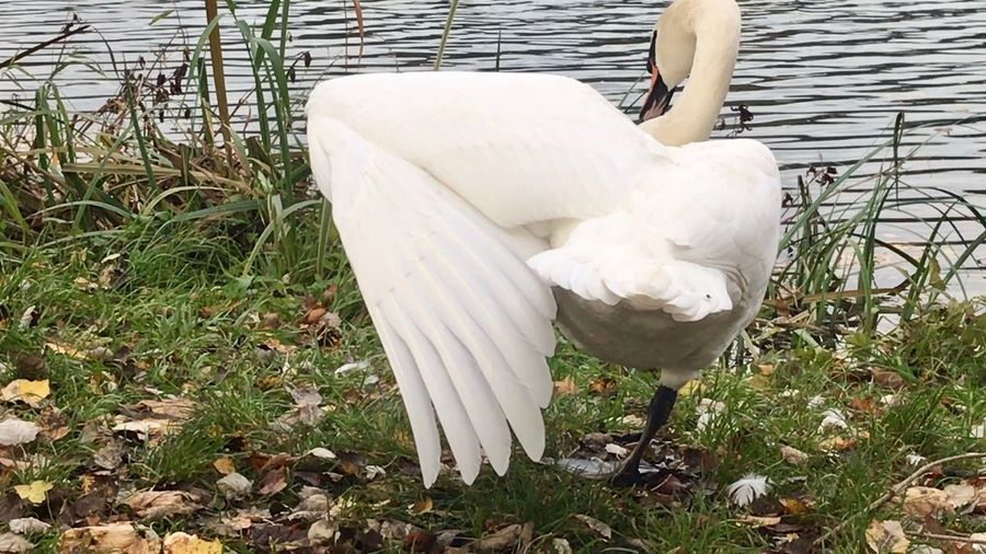 Swan White Color Day Nature Plant One Person Relaxation Grass
