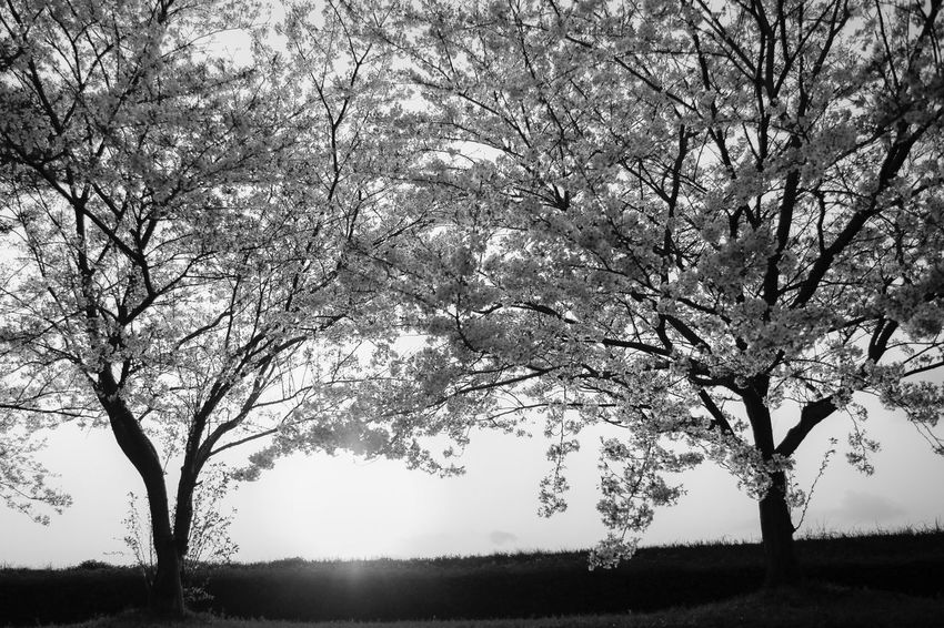 Cherry Blossoms Tree Plant Beauty In Nature Nature Growth Tranquility Sky No People Tranquil Scene Branch Scenics - Nature Environment Day Landscape Outdoors Silhouette Low Angle View Non-urban Scene Land Sunlight