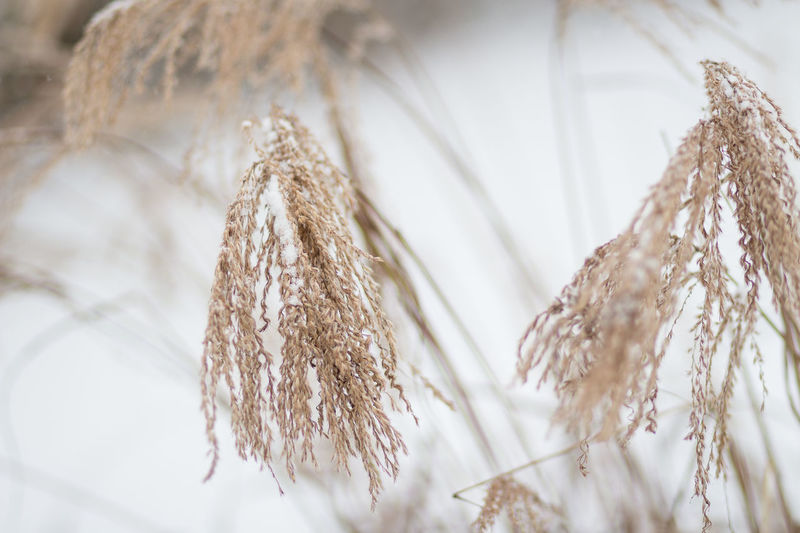 Winter Scene Winter Garden Close-up Cold Temperature Day Dried Plant Japanese Grass Nature No People Outdoors Plant Snow