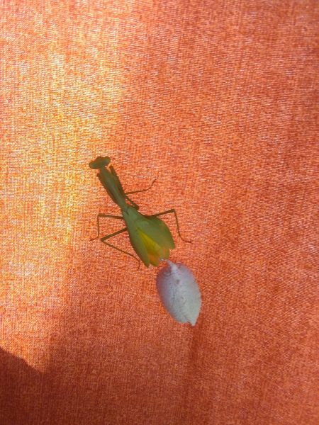 Praying Mantis Childbirth Nature In The Home Insect Photography Smartphone Photography No Edit No Filter