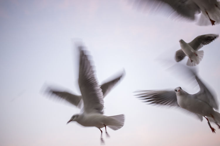 Animal Body Part Animal Themes Animal Wildlife Bird Day Flying Flying Bird Low Angle View Mid-air Motion Nature No People Outdoors Seagull Sky Spread Wings Togetherness White Color