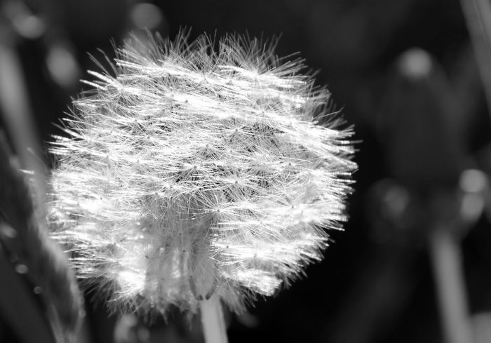 Nature Blackandwhite Bw_collection EyeEm Best Shots Dandelion Friday ;)