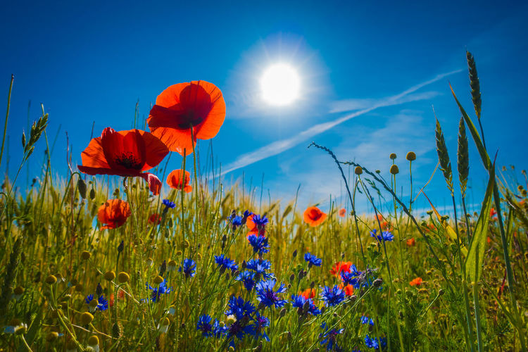 Flowering Plant Flower Plant Beauty In Nature Fragility Freshness Growth Sky Vulnerability  Field Land Nature Petal Poppy Blue Red Tranquility Close-up Sunlight Inflorescence No People Flower Head Sun Outdoors Springtime