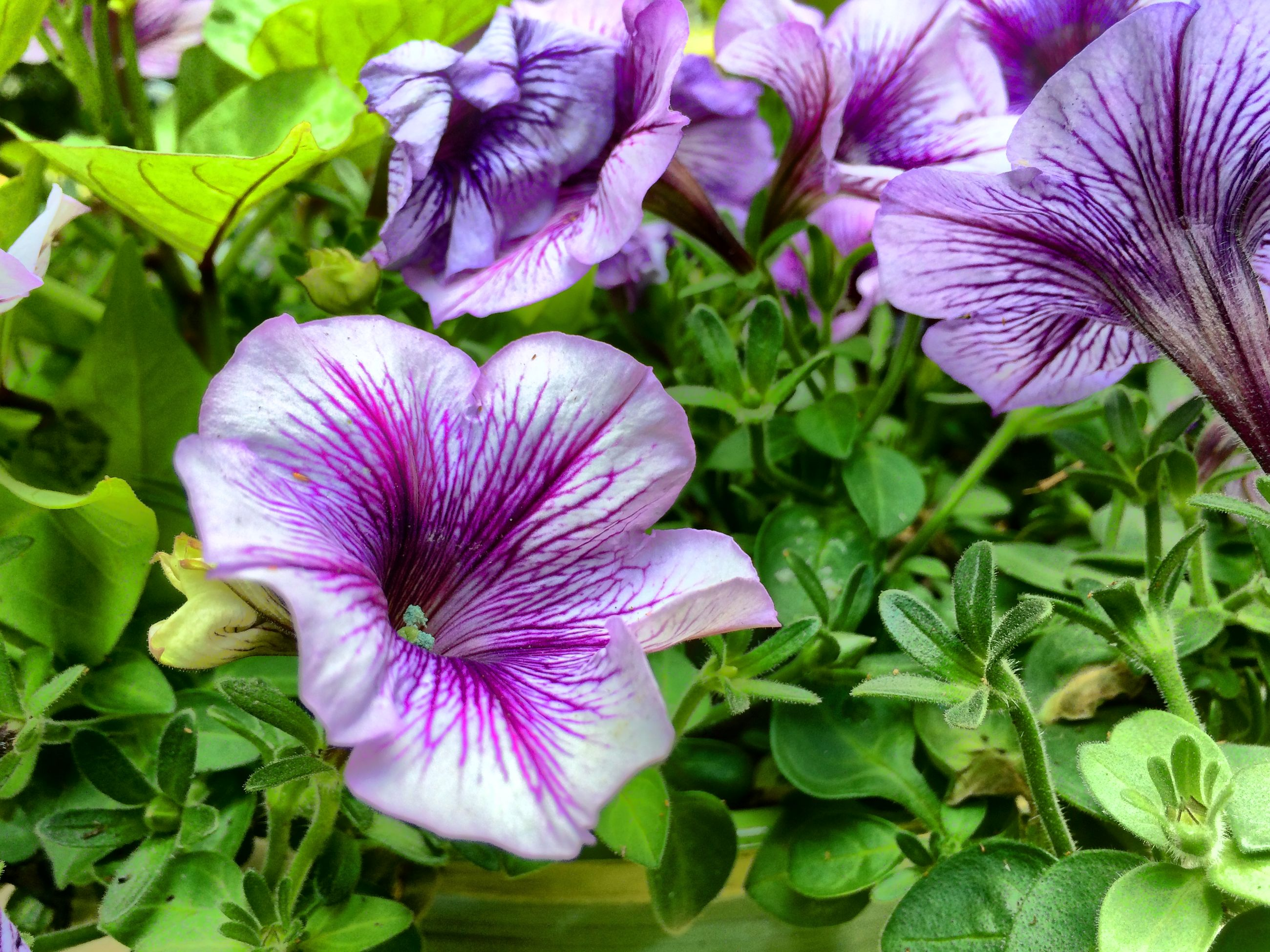 flower, freshness, purple, fragility, petal, growth, flower head, beauty in nature, leaf, blooming, plant, nature, close-up, in bloom, green color, park - man made space, blossom, focus on foreground, no people, pollen