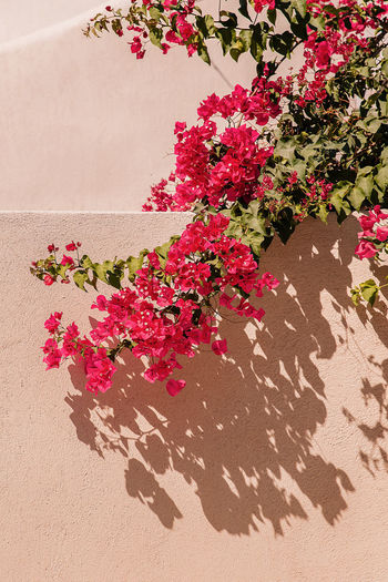 High angle view of pink flowering plants on sand