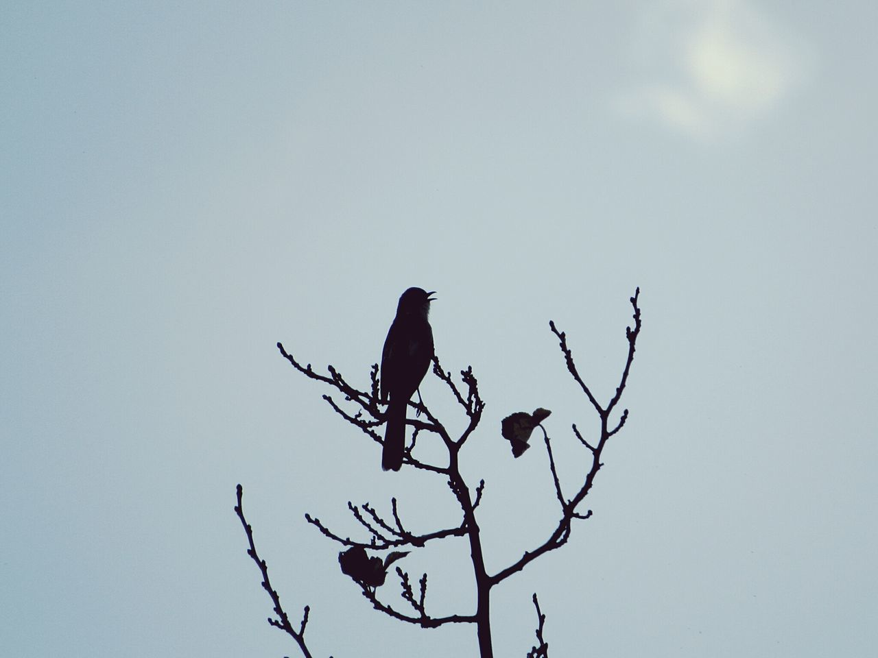 animals in the wild, bird, perching, low angle view, animal themes, animal wildlife, clear sky, nature, copy space, branch, one animal, day, no people, bare tree, outdoors, beauty in nature, tree, sky, bird of prey