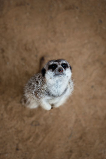 High Angle View Of Meerkat On Ground