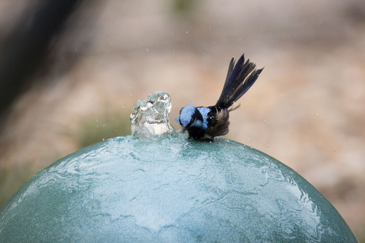 A tiny Fairy Wren cooling off in the water feature Animal Themes Animal Wildlife Animals In The Wild Australia Beauty In Nature Bird Blue Bird Close-up Day Nature No People One Animal Outdoors Splashing The Week Of Eyeem
