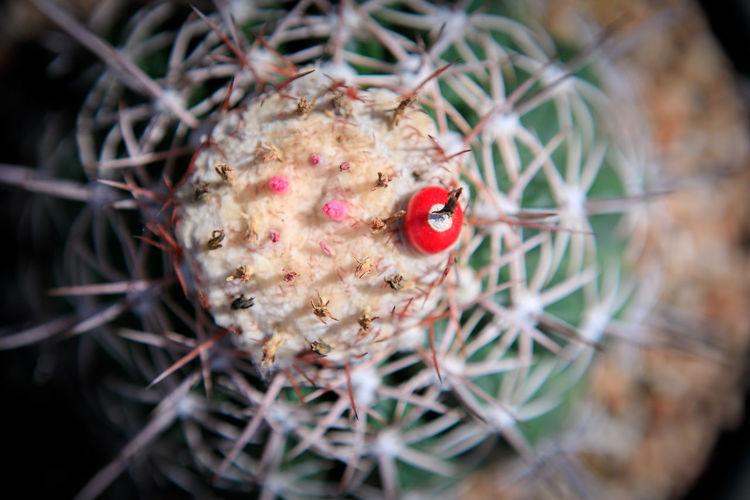 Close-up of red cactus