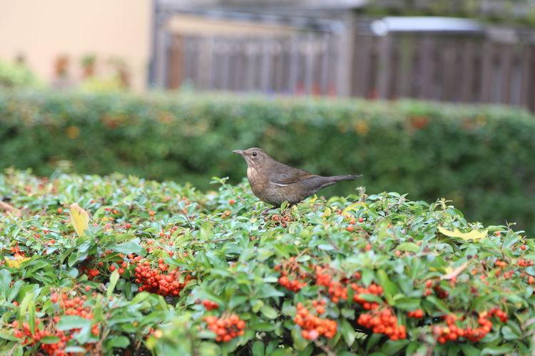 Animal Themes Animal Wildlife Animals In The Wild Bird Blackbird Blackbird On A Hedge Hedge Nature No People One Animal Outdoors