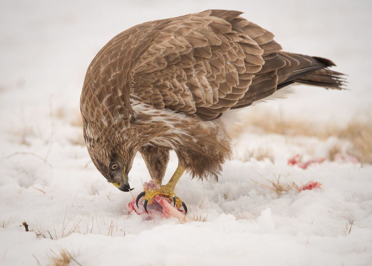 Close-up of bird eating on snow field