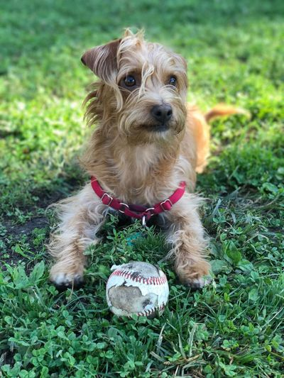 Portrait of dog with ball on grass