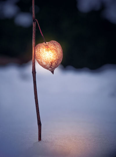 Close-up of illuminated winter cherry on snow at night