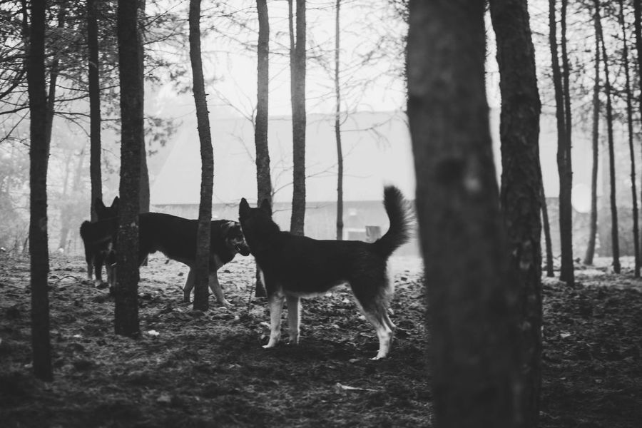 mama tata syn Dogs Of EyeEm Dog Love Huskyphotography Freetime Photos Syberianhuskey Husky ♡ Złotapolskajesień Jesień Jesiennyspacer Dogphotography JESIEŃ_W_PL Uczęsie📷 Tree Tree Trunk Forest Animal Themes