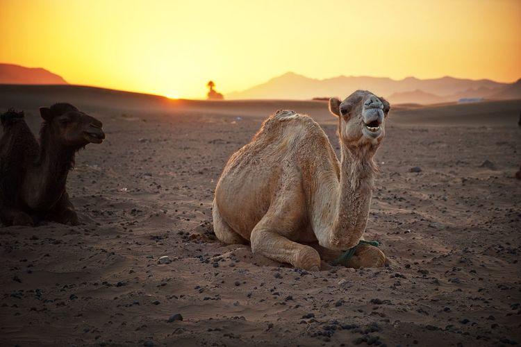 Desert Camel Travel Traveling Waking up & sunshine at Zagora desert, Morocco