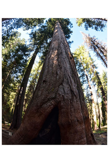 Seqouia Tree Trunk Growth Tree Outdoors Low Angle View Day Nature No People Forest Branch Beauty In Nature Close-up Sky Seqouia Seqouia Trees
