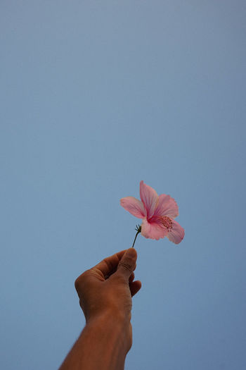 Cropped hand holding pink flower against clear sky