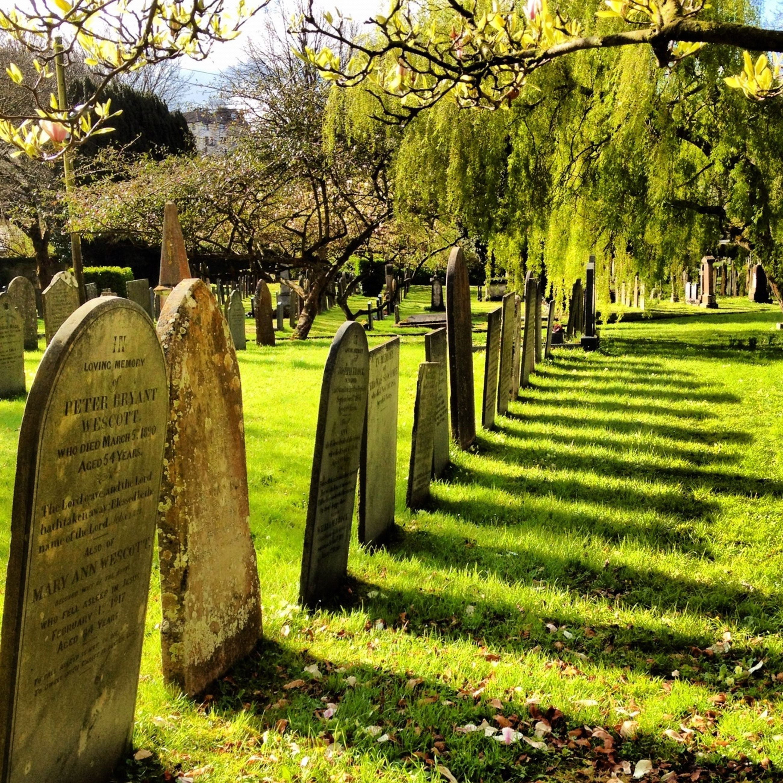 tree, grass, green color, growth, park - man made space, field, tranquility, nature, tree trunk, grassy, park, branch, tranquil scene, beauty in nature, cemetery, fence, in a row, day, tombstone, scenics