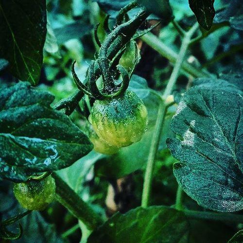 Tomato Vegetablegarden Green 9Vaga_ColorGreen9 Nature Backyard Colors_ofourlives Rainbow Wall Pocket_colors