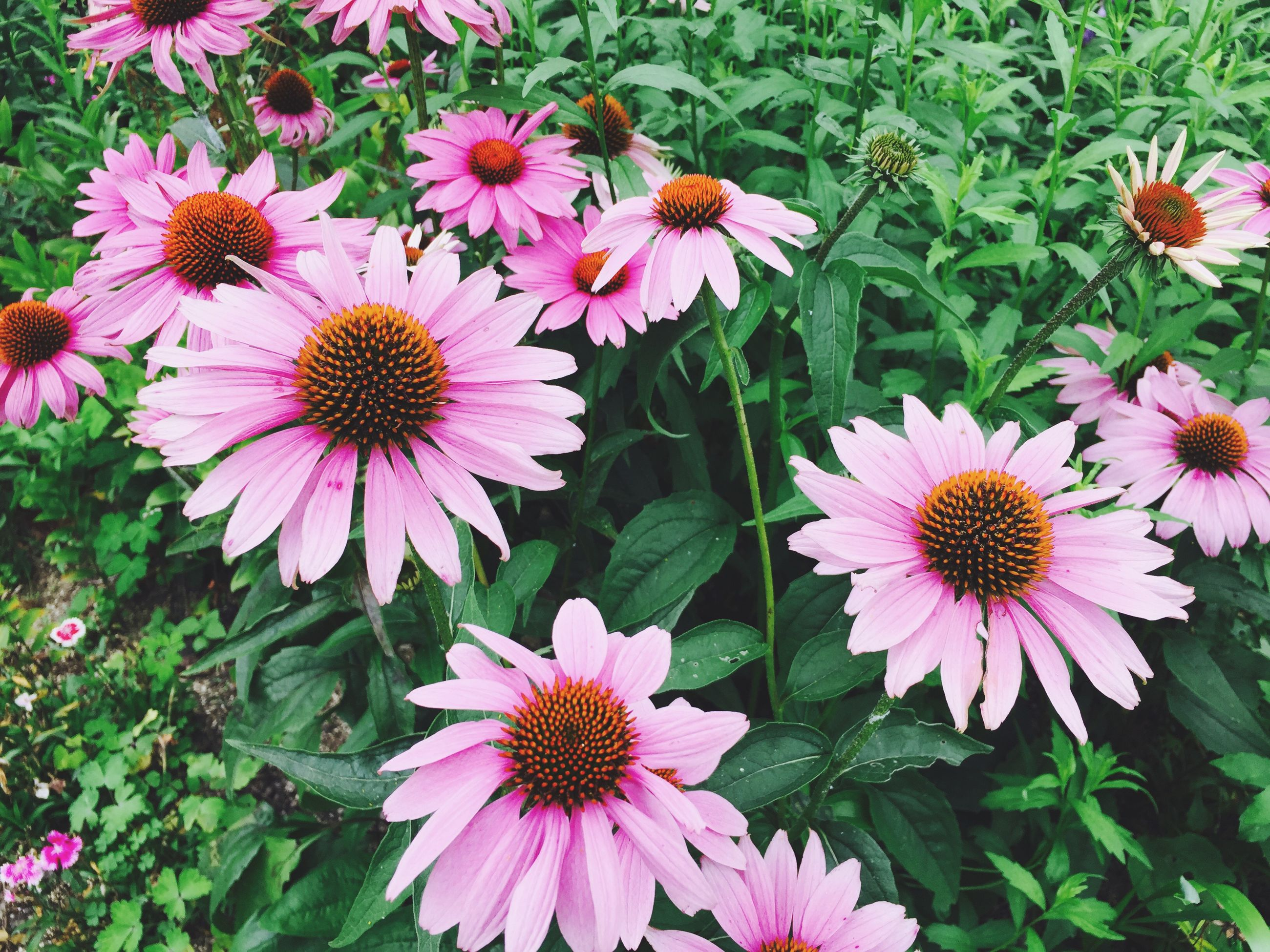 flower, freshness, petal, fragility, flower head, growth, beauty in nature, blooming, pollen, nature, plant, pink color, high angle view, in bloom, leaf, close-up, daisy, outdoors, day, focus on foreground