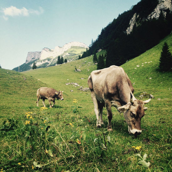 Alps Appenzell Countryside Cow Cowbell Cows Ebenalp Europe Field Grass Grazing Green Green Color Landscape Mountain Mountains Scenics Seealpsee Swiss Swiss Alps Swiss Cows Swiss Mountains Switzerland Tourism Travel