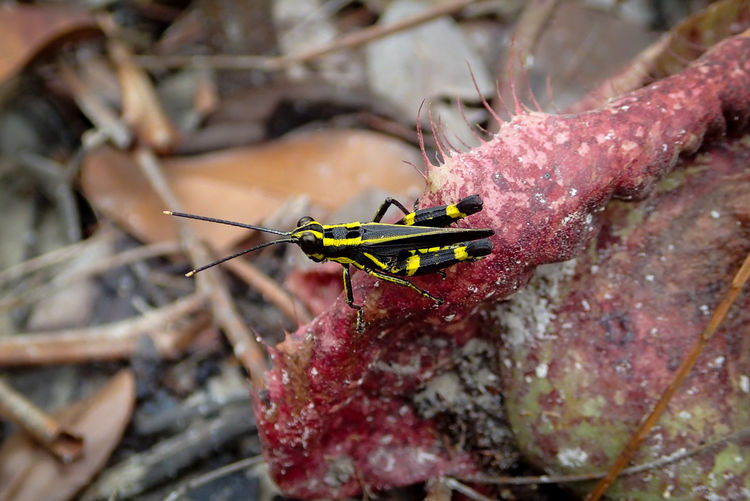 Black-and-yellow grasshopper, traulia sp. on a pitcher plant. photographed at bako, borneo.