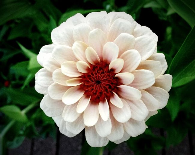 Flower Petal Plant Flower Head Beauty In Nature Nature Growth Day Fragility Outdoors No People Close-up Freshness zi Zinnia  Zinniaflower Zinnias, Flowers Zinnia Flower Perspectives On Nature