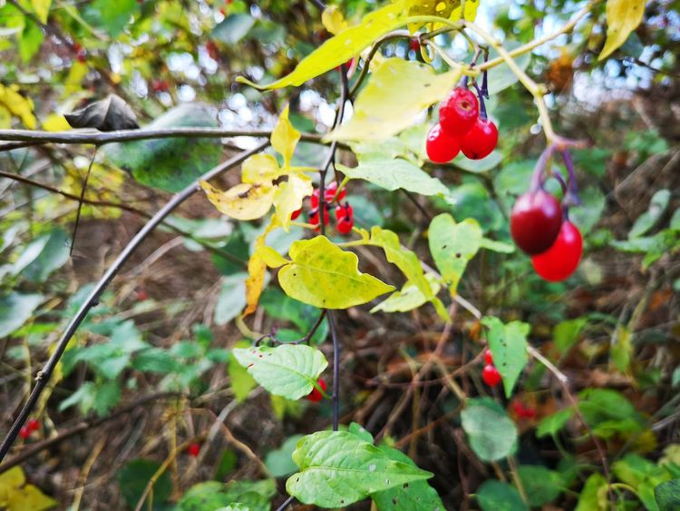 All that glitters isn't gold.... Deadly Nightshade Deadly Nature Atropa Belladonna Belladonna WoodLand Poisonous Poison Deadly Beautiful Nature Autumnal Autumn🍁🍁🍁 Autumn Leaf Hanging Fruit Red Close-up Plant Fall Leaves Autumn Mood