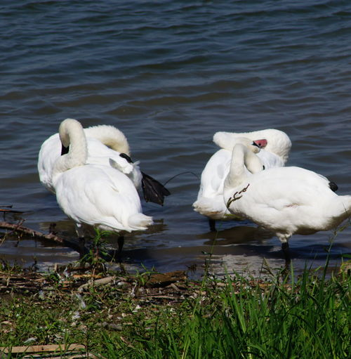 Animal Animal Family Animal Themes Animal Wildlife Animals In The Wild Bird Day Floating On Water Group Of Animals Lake Nature No People Outdoors Swan Togetherness Two Animals Vertebrate Water Water Bird White Color Zoology
