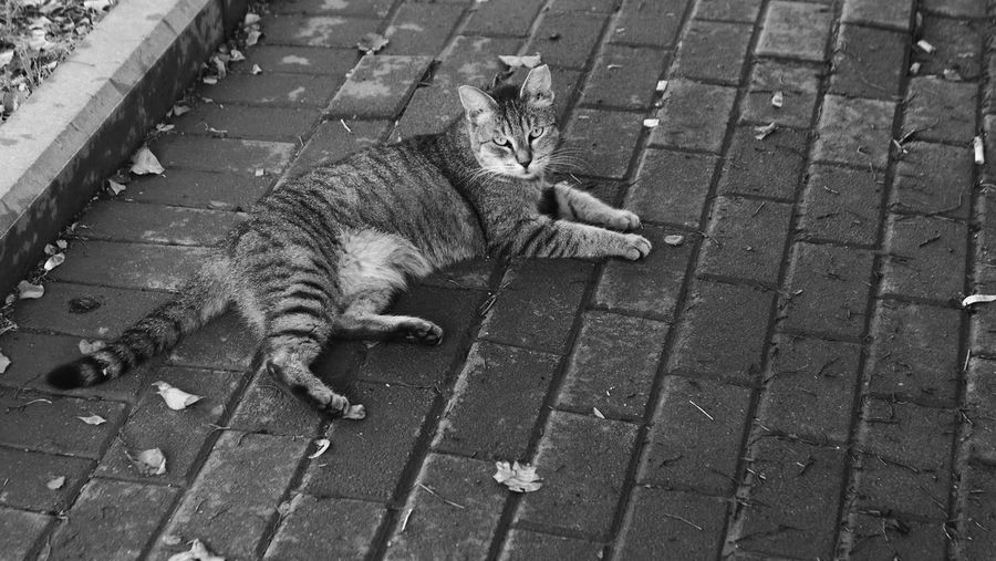 Domestic Cat Cat One Animal Vertebrate Footpath Day Outdoors City Street No People Paving Stone Sidewalk Full Length