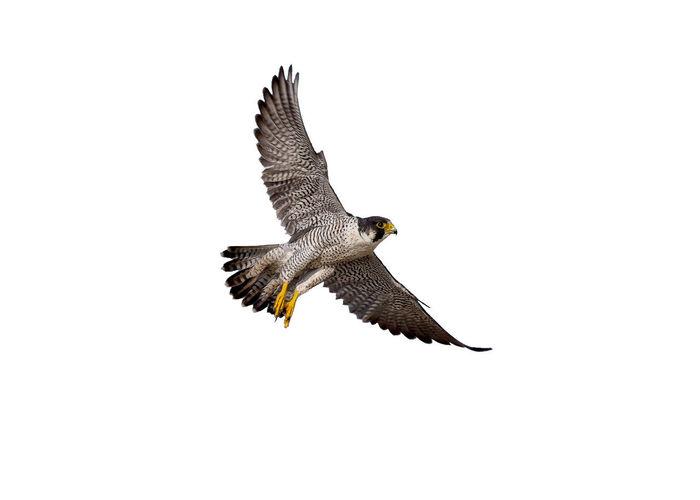 flying of