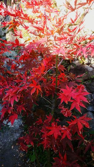 Acer Palmatum Red Tree Acero Giapponese Acerorosso Beauty In Nature Autumn Colors Mygardentoday Nature At Home Sweet Home Garden Photography StonexOneGalileo Athomeinthemountains Athomeinthewood Autumn Countrystyle Countryhouse Color Explosion Tree Acerphotography In The Wood Japan Acer Osakazuki Acer