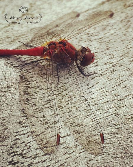 Can't stop loving these beautiful creatures 💕 Dragonfly Insect Insect Photography Nature Nature Photography Naturelovers EyeEm Nature Lover Eye4photography  EyeEm Best Shots Naturesbeauty Beauty In Nature Beautiful Lovely Cute Littlefriend Soulmate