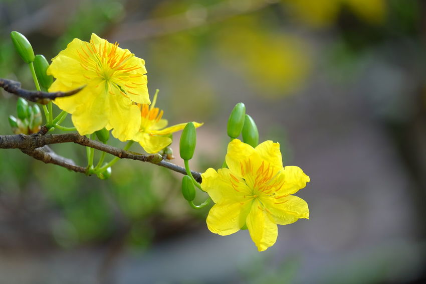 Spring time Vietnam Beauty In Nature Blooming Blossom Botany Close-up Day Flower Flower Head Focus On Foreground Fragility Freshness Growth Hoa Mai Nature No People Outdoors Petal Plant Springtime Tet Holiday Yellow
