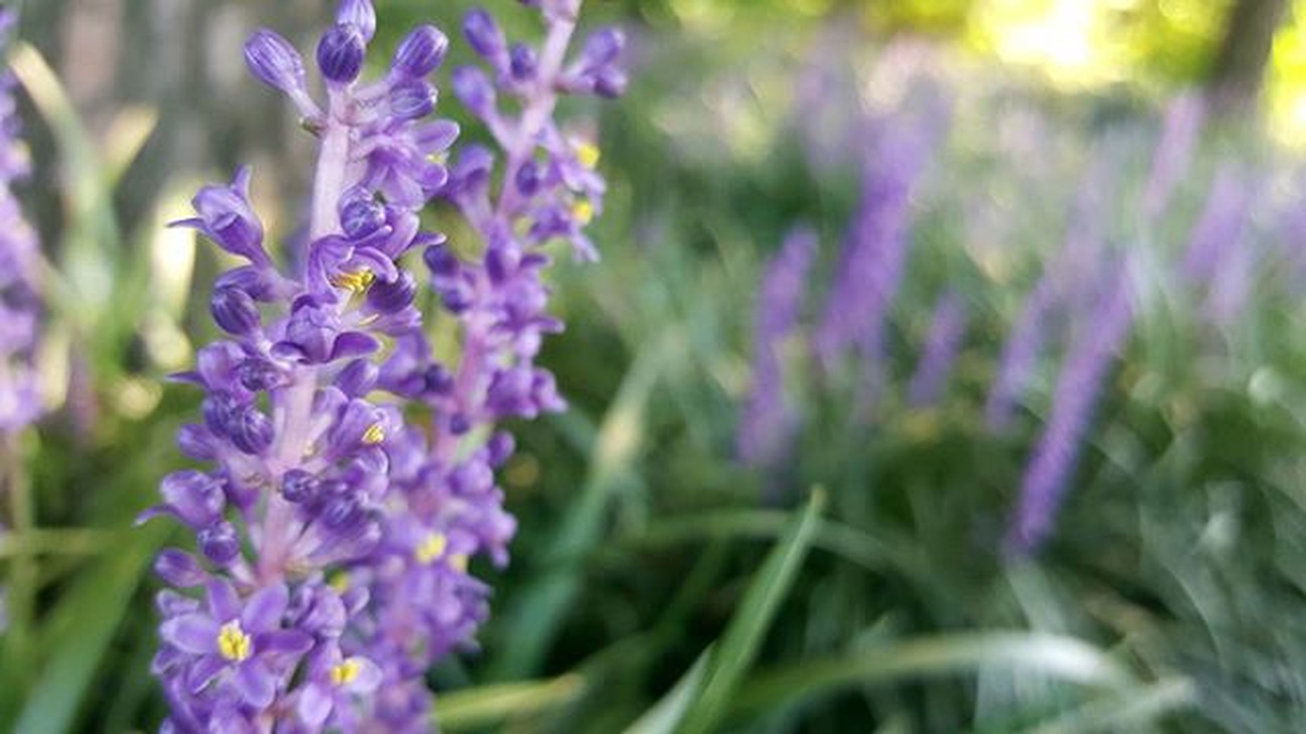 flower, purple, freshness, growth, fragility, beauty in nature, plant, focus on foreground, blooming, petal, nature, close-up, stem, selective focus, flower head, in bloom, field, outdoors, park - man made space, day
