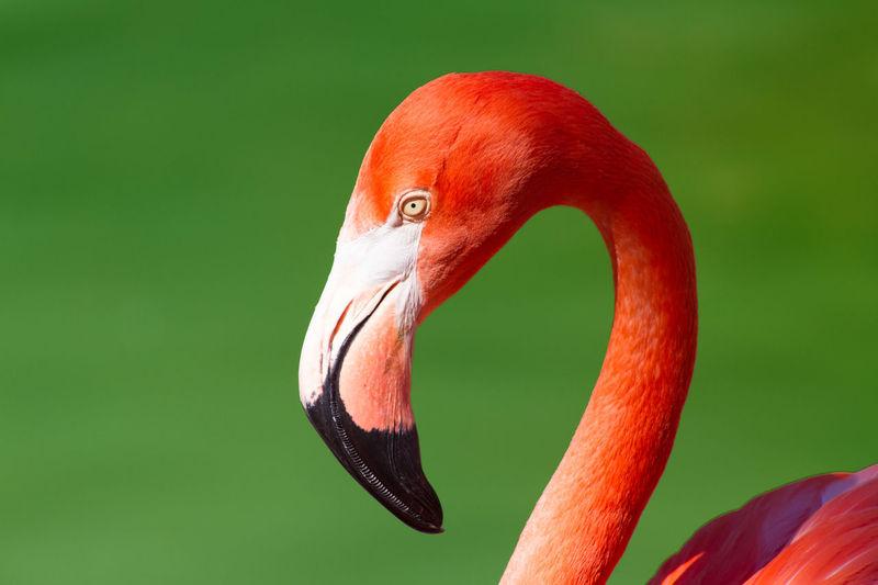 Headshot of flamingo against green background