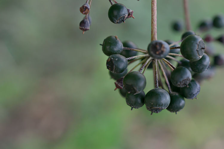 Common ivy's toxic, black berries on the right side of the image, with copy space on the left