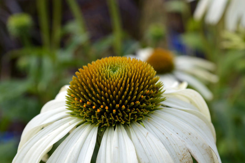Close-Up Of Eastern Purple Coneflower