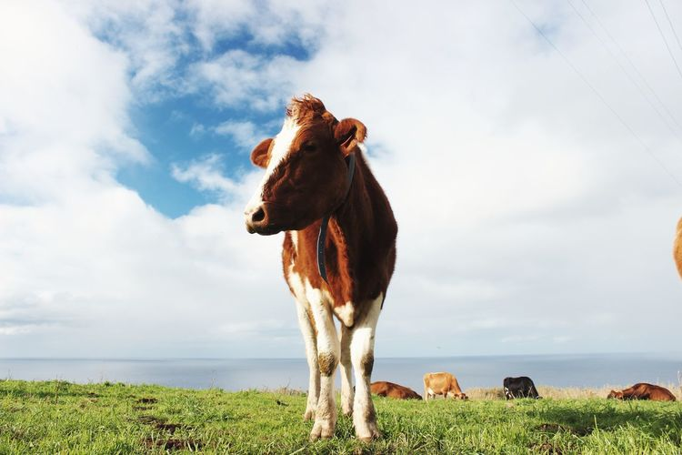 Cow standing on field by sea against sky