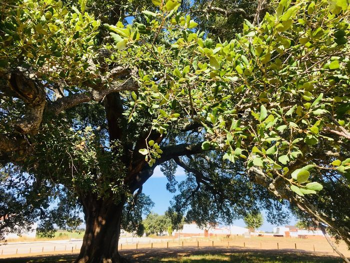 Big cork tree, Portugal Portugal Cork Tree Tree Plant Growth Green Color Nature Branch No People Leaf Trunk Tree Trunk Park