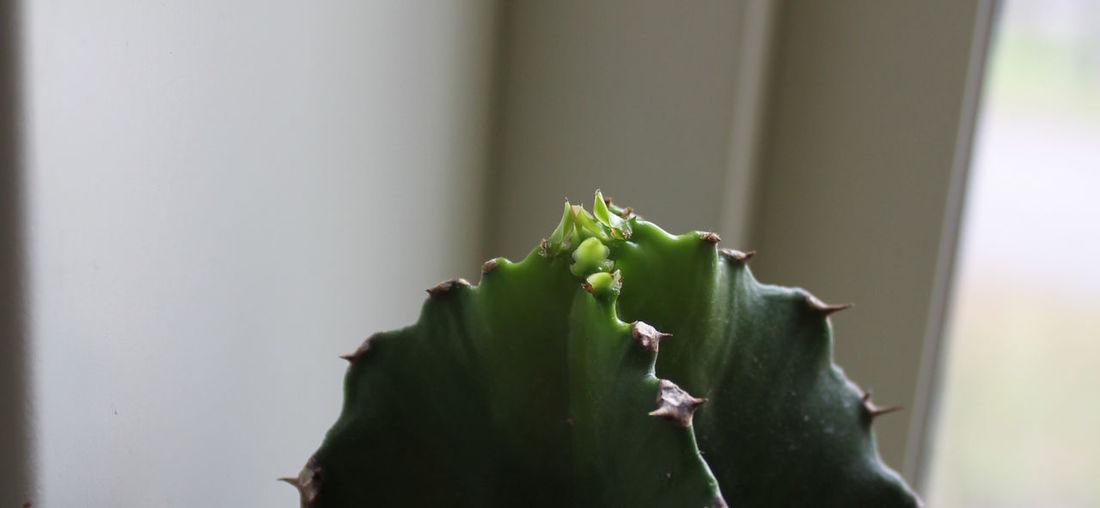 Euphorbia Plant Plants Close-up Green Plant Growing Leaves Growth New Growth Plant Plant Part Succulent Plant