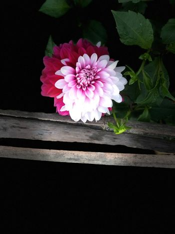 Mixed Race Biracial Flower Petal Flower Head Fragility Freshness Nature Beauty In Nature Growth Pink Color No People Plant Close-up Peony  Zinnia  Day Outdoors Black Background